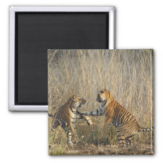 Royal Bengal Tigers play-fighting, Ranthambhor Square Magnet