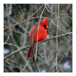 Royal Red Cardinal 24x24 Poster