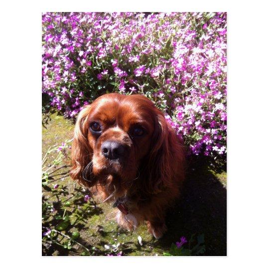 Ruby Cavalier Spaniel Postcard