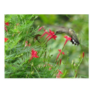 Ruby-throat in Cypress Vine Postcard