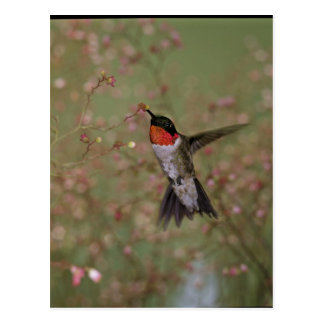 Ruby Throated Humming Bird Postcard