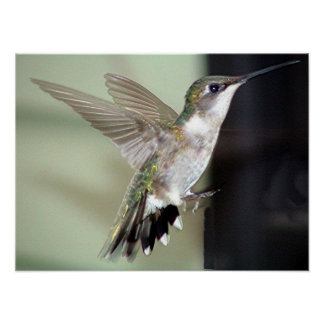 Ruby-Throated Hummingbird 2003-0069 Poster