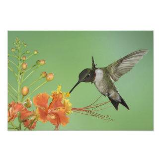 Ruby-throated Hummingbird, Archilochus 2 Photo Print