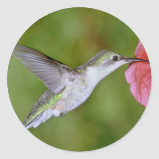 Ruby-throated Hummingbird (female) with petunia Pi Classic Round Sticker