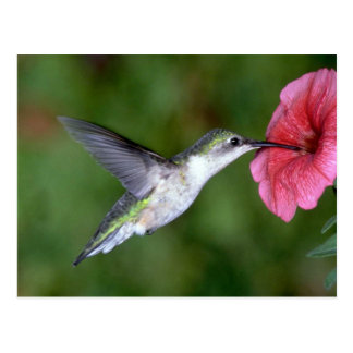 Ruby-throated Hummingbird (female) with petunia Postcard