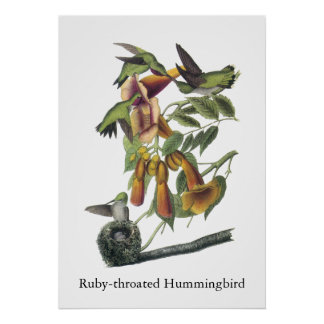 Ruby-throated Hummingbird, John Audubon Poster