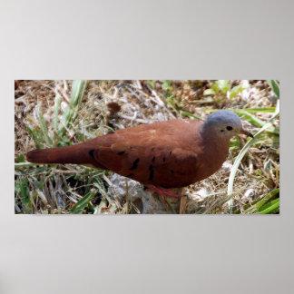 Ruddy Ground Dove - Columbina talpacoti Portfolio Poster