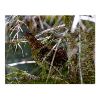 Ruffed Grouse 02 Postcard