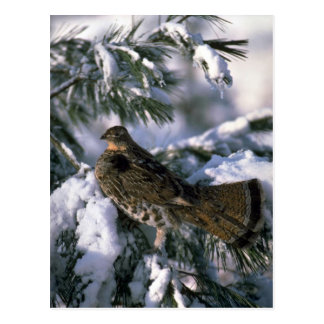 Ruffed grouse perched in a snowy tree postcard