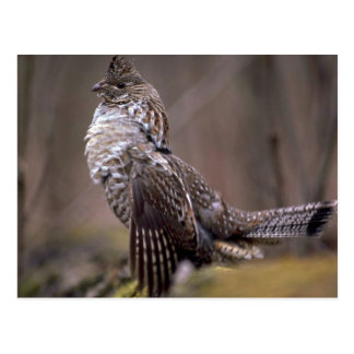 Ruffed Grouse Postcard