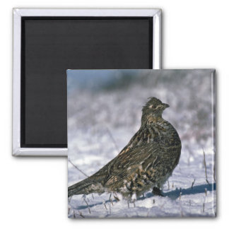 Ruffed grouse standing on snowy ground magnet
