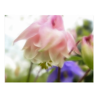 Ruffled Pink Aquilegia (Columbine) Postcard
