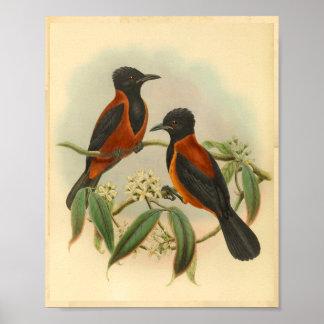Rufous Black Wood Shrike Vintage Red Bird Print