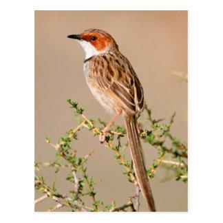 Rufous-Eared Warbler (Malcorus Pectoralis) Postcard