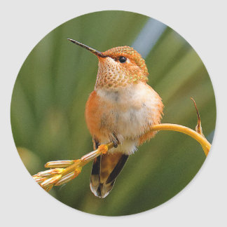 Rufous Hummingbird at Rest Classic Round Sticker