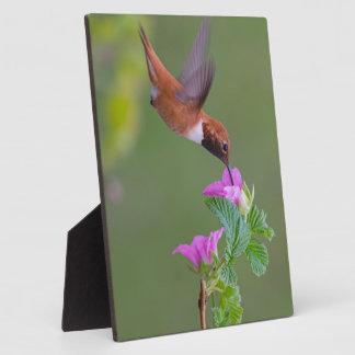 Rufous Hummingbird on Wild Rose Photo Plaques