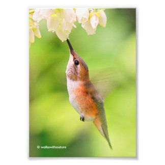 Rufous Hummingbird Sips Blueberry Blossom Nectar Photo Print
