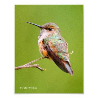 Rufous Hummingbird Sitting in the California Lilac Photo Print