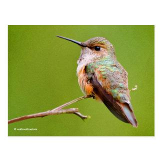 Rufous Hummingbird Sitting in the California Lilac Postcard