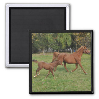 Running Arabian Horses - Mom and Foal Square Magnet