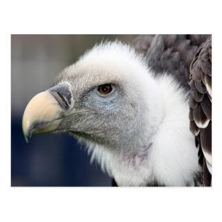 Rüppell's Vulture Postcard