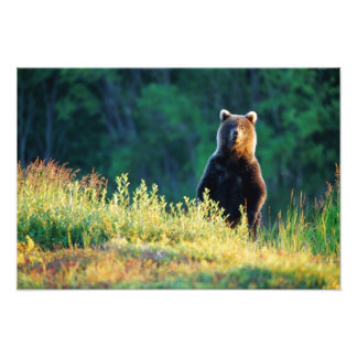 Russia, Kamchatka, grizzly of Kroska Photo Print