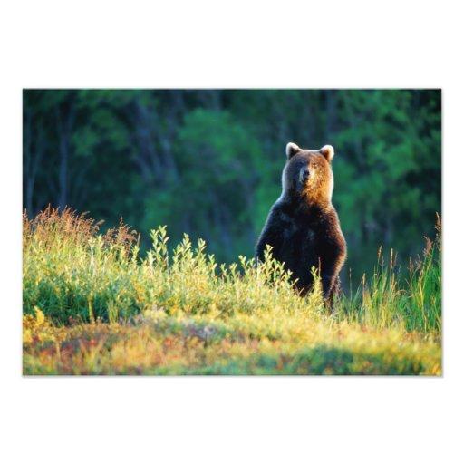 Russia, Kamchatka, grizzly of Kroska Photo Print