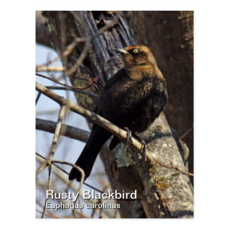 Rusty Blackbird Postcard