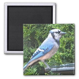 SA- Blue jay magnet
