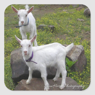 Saanan Goat Kids ~ Square Sticker