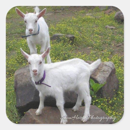 Saanan Goat Kids ~ Square Sticker