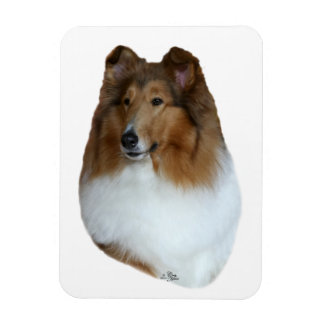 Sable and white Collie head Magnet