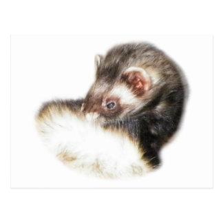 Sable Ferret Picture Postcard