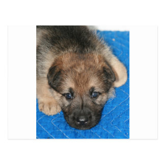 "Sable GSD Puppy ""Jack"" Postcard"