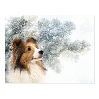 Sable Sheltie Christmas Postcard