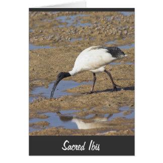 Sacred Ibis Greeting Cards