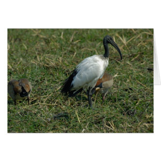 Sacred Ibis Greeting Card