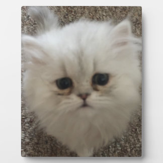 Sad eyes white fluffy kitten looking up plaque