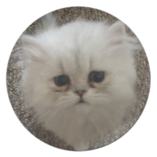 Sad eyes white fluffy kitten looking up plate