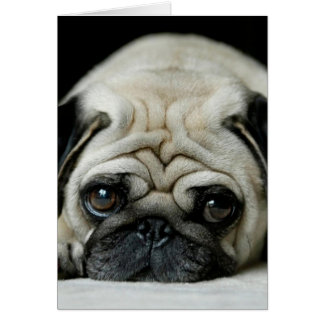 Sad pug - dog lying down - dog look - cute puppies card