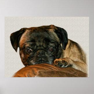 Sad Pug Dog Poster