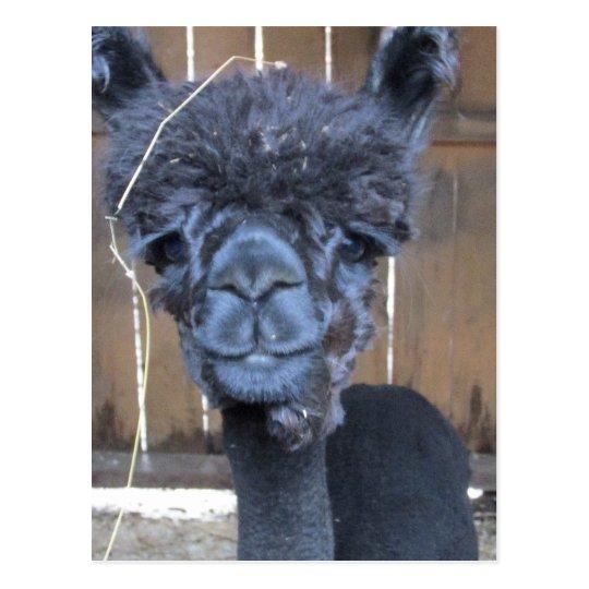 Sad Shaved Alpaca Postcard