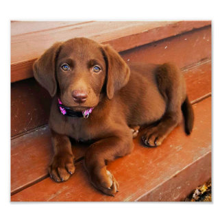 Sadie the Chocolate Labradoodle Poster