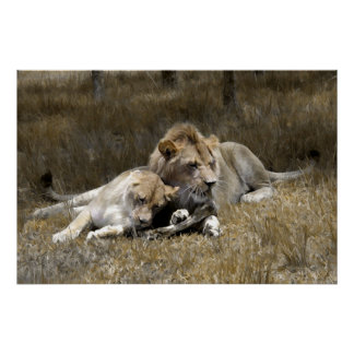 Safari-Lion Couple Poster