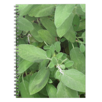 Sage plant in the garden. Tuscany, Italy Notebooks