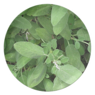 Sage plant in the garden. Tuscany, Italy Party Plates
