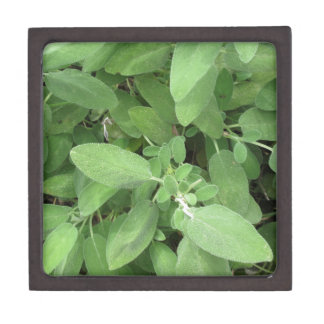 Sage plant in the garden. Tuscany, Italy Premium Jewelry Boxes