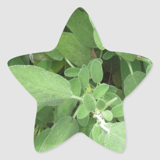 Sage plant in the garden. Tuscany, Italy Star Sticker