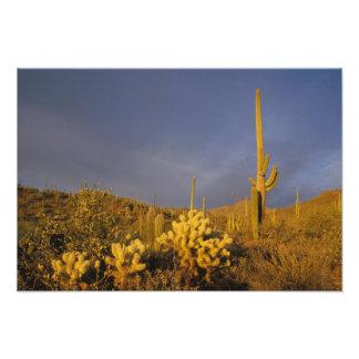 saguaro cacti, Carnegiea gigantea, and teddy Art Photo