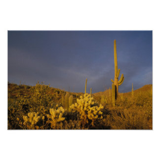 saguaro cacti, Carnegiea gigantea, and teddy Poster